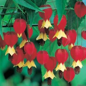Цветы абутилона