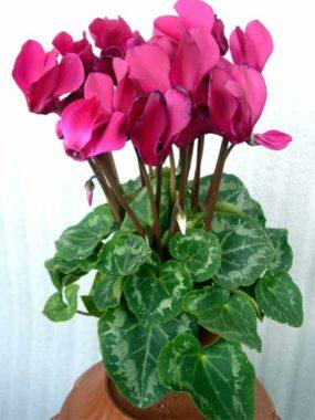 Домашние цветы фото и названия уход цикламен