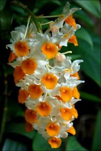 orhideya