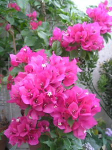 цветы бугенвиллия