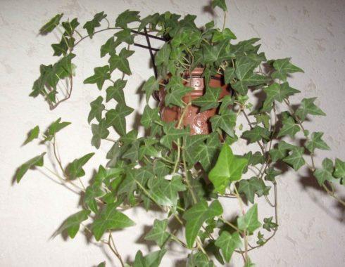 Растение плющ обыкновенный или ирландский-одно из немногих европейских растений, выращиваемое в домах.
