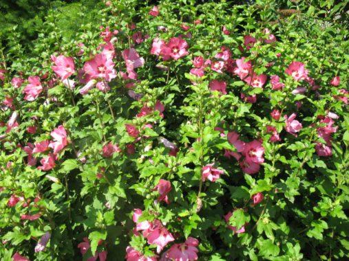 цветущие кустарники, фото