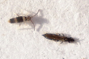 4_Thrips