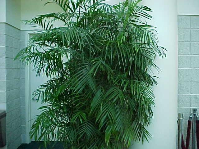 пальма в квартире