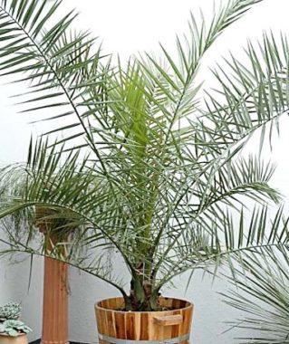 Болезни финиковых пальм в домашних условиях