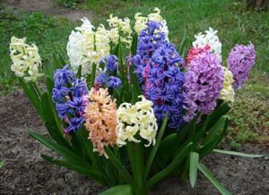 hyacintр