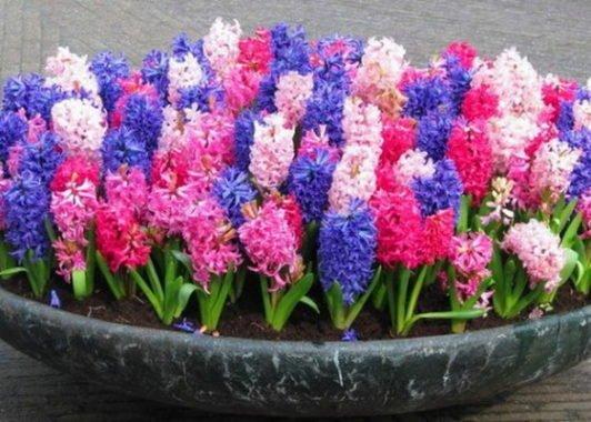Гиацинт посадка и уход после цветения в