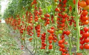tomat_1