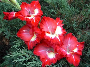 1342672743_gladiolus_2