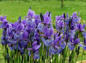 вот и цветы ирисы фото
