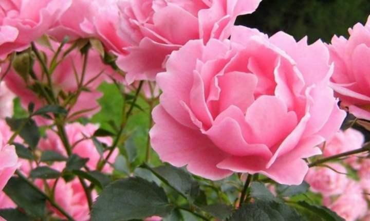 цветок пиона