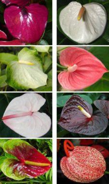 цветки антуриума разных сортов