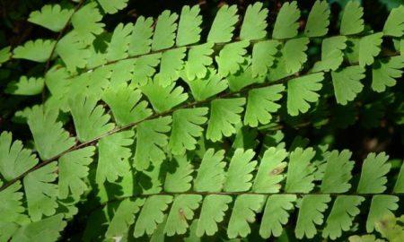 Адиантум листья