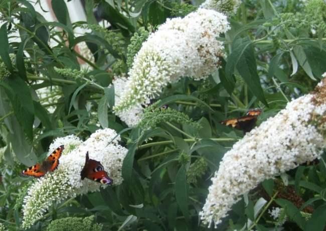белые цветы буддлеи