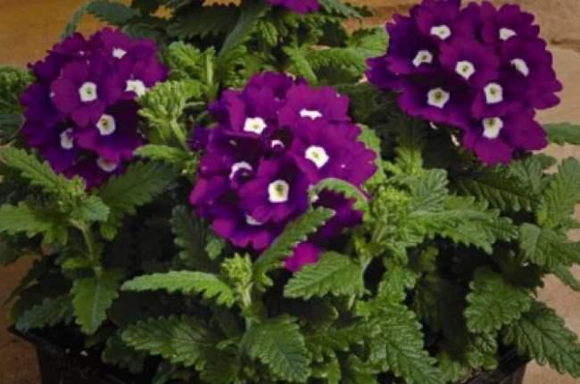 Вербена цветы
