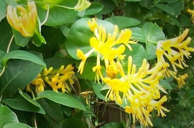 желтые цветы жимолости