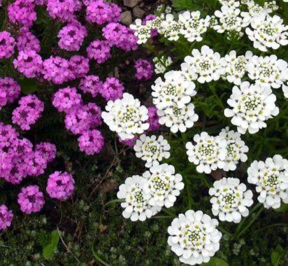Иберис цветы выращивание 32