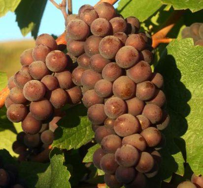 совиньон виноград