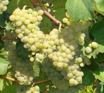 виноград шабаш