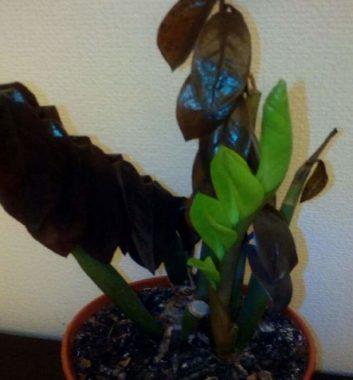 замерзший замиокулькас с потемневшими листьями