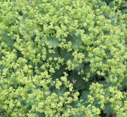 цветы манжетки
