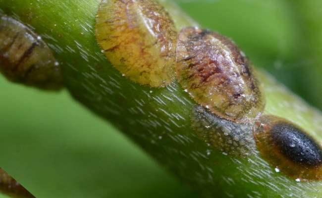 щитовка на стебле