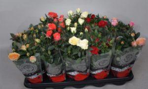 Роза кордана