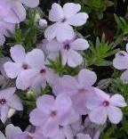 Цветки флокс Дугласа
