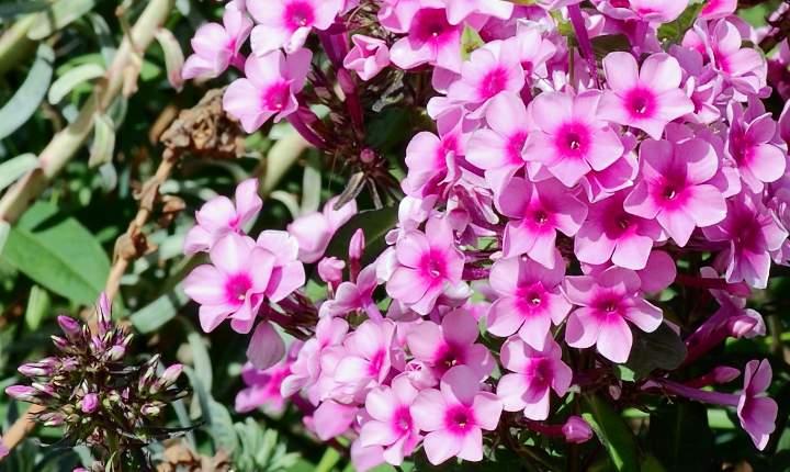 Флокс метельчатый цветение