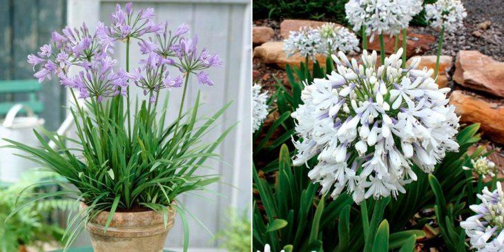 Цветок Агапантус в домашних условиях