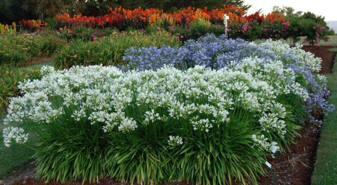 Цветок Агапантус