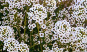 Цветение алиссума