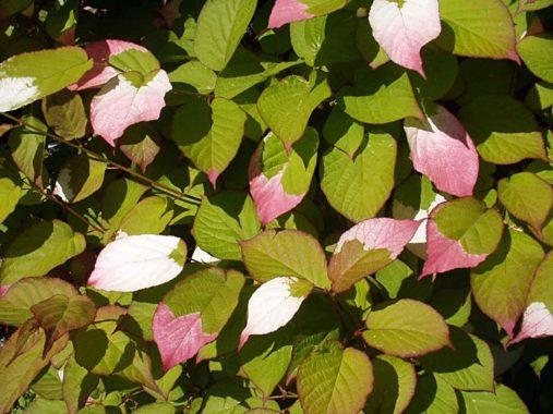 Листья актинидии
