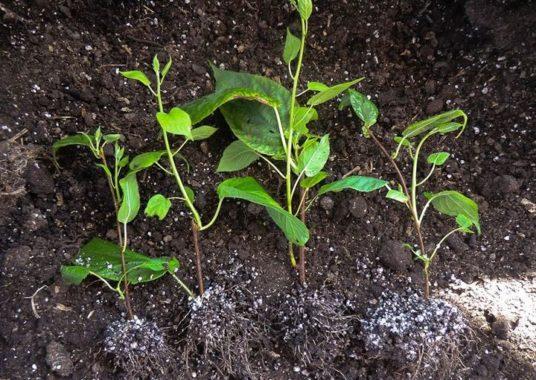 Черенки актинидии с корнями