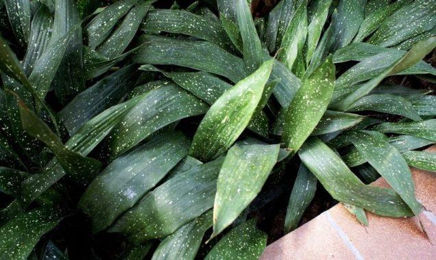 Комнатное растение аспидистра