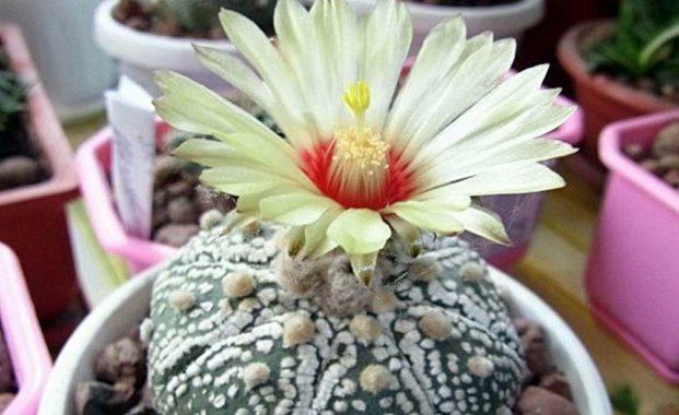 Астрофитум – комнатное растение