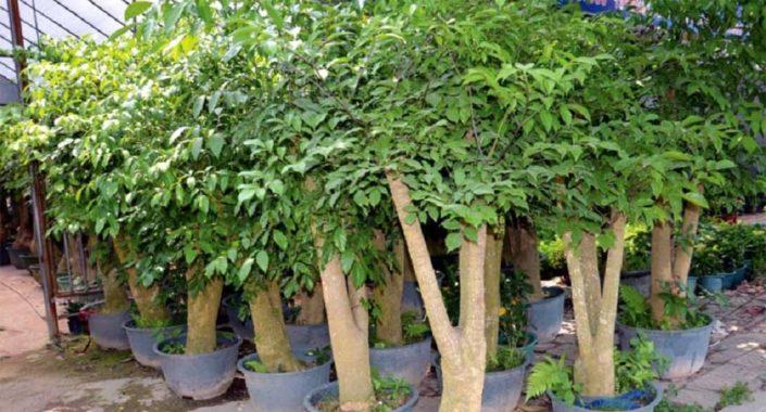 Декоративно-лиственное растение гетеропанакс