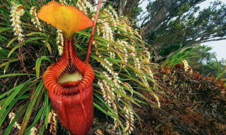 Хищное растение кувшиночник