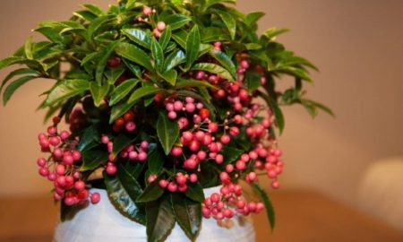 Комнатное растение ардизия