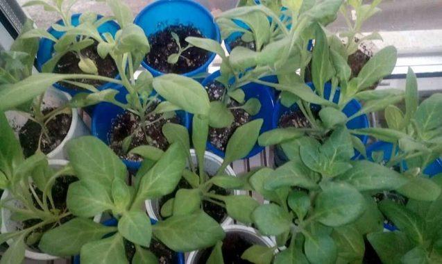 Посев на рассаду петунии