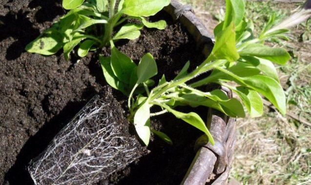 Посев петунии в открытый грунт