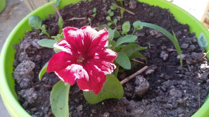 Выращивание петунии-мини на открытом месте