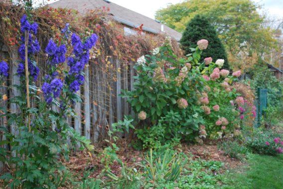 Аконит на садовом участке