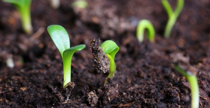Посев семян армерии