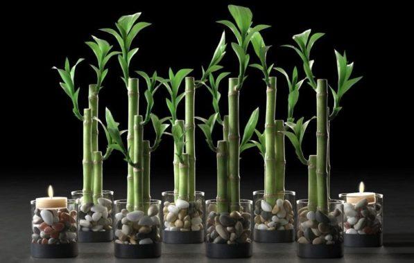 Размножение бамбука домашнего