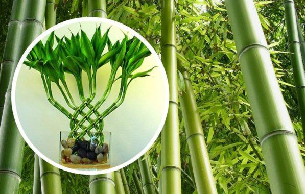 особенности ухода за бамбуком