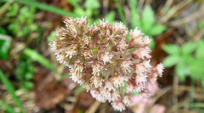 Семена белокопытника