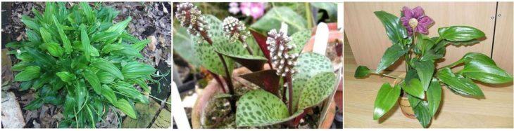 Цветок дримиопсис пятнистый