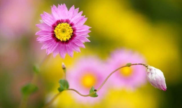 Гелиптерум розовый (акроклинум)