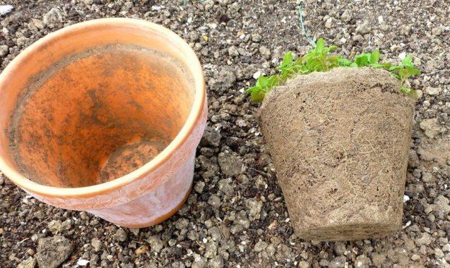 Рассадный метод гелиптерума